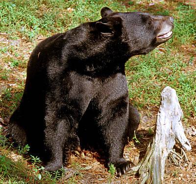 Florida Black Bear Art Print