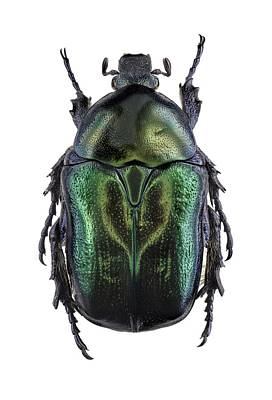 Scarab Photograph - Flower Chafer by F. Martinez Clavel