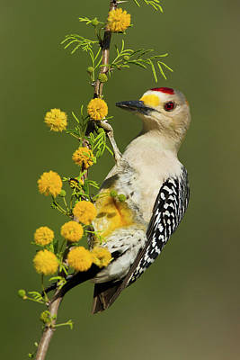 Hammer Photograph - Golden-fronted Woodpecker (melanerpes by Larry Ditto