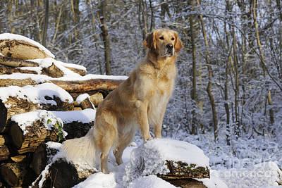 Dog In Snow Photograph - Golden Retriever In Snow by John Daniels