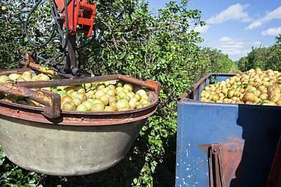 Grapefruit Farming Art Print by Jim West