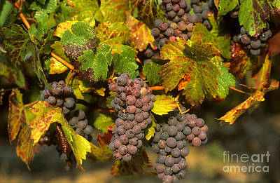 Grapes Growing On Vine Art Print