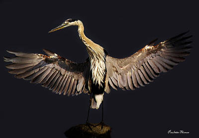 Great Blue Heron Art Print by Paulette Thomas