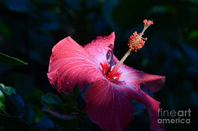 Photograph - 8- Hibiscus by Joseph Keane