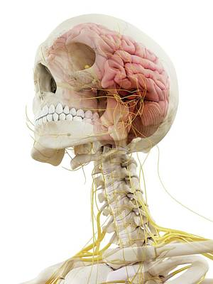 Human Brain Photograph - Human Brain And Nerves by Sciepro