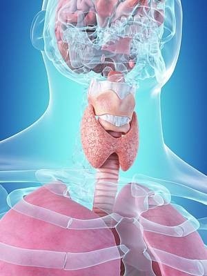 Airways Photograph - Human Internal Organs by Sciepro