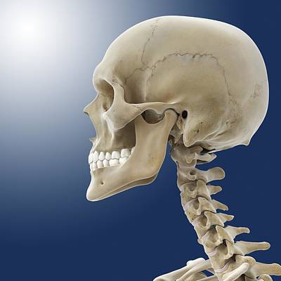 Human Skull, Artwork Art Print by Science Photo Library
