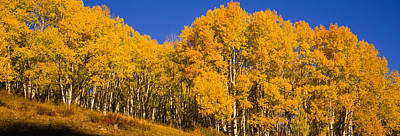 Woods.hills Photograph - Low Angle View Of Aspen Trees by Panoramic Images