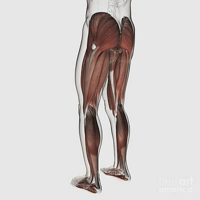 Muscular Digital Art - Male Muscle Anatomy Of The Human Legs by Stocktrek Images