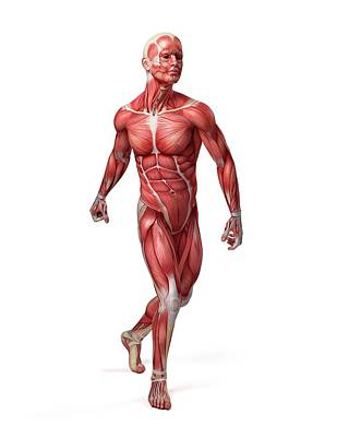 Digitally Generated Image Photograph - Male Muscular System by Sebastian Kaulitzki