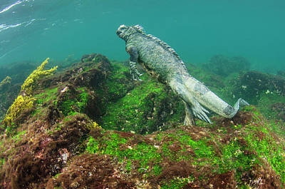 Galapagos Photograph - Marine Iguana (amblyrhynchus Cristatus by Pete Oxford