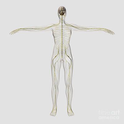 Medical Illustration Of The Human Print by Stocktrek Images