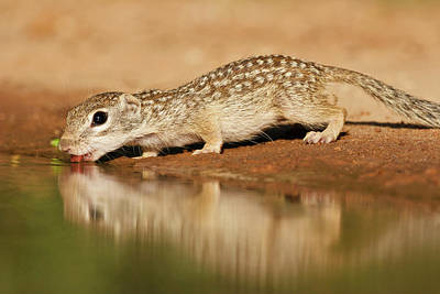 Starr Photograph - Mexican Ground Squirrel (spermophilus by Larry Ditto