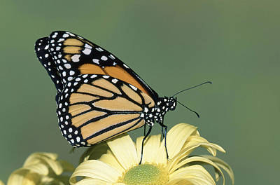 Photograph - Monarch Butterfly Danaus Plexippus by Millard H. Sharp