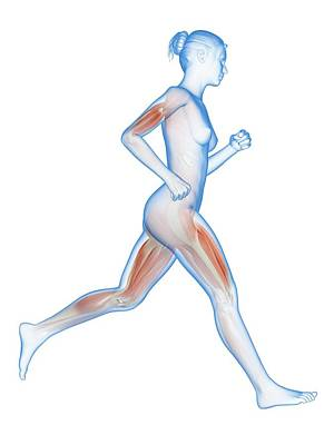 Muscular System Of A Runner Art Print
