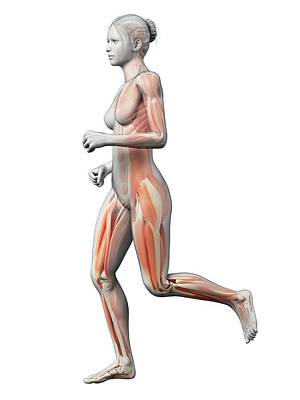 Jogger Wall Art - Photograph - Muscular System Of Runner by Sebastian Kaulitzki