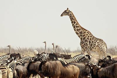 Namibia, Etosha National Park Art Print by Jaynes Gallery