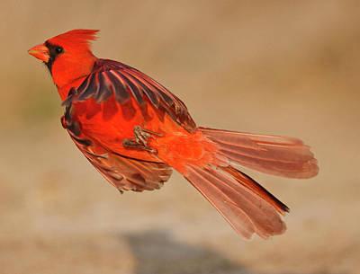 Northern Cardinal (cardinalis Cardinalis Art Print by Larry Ditto