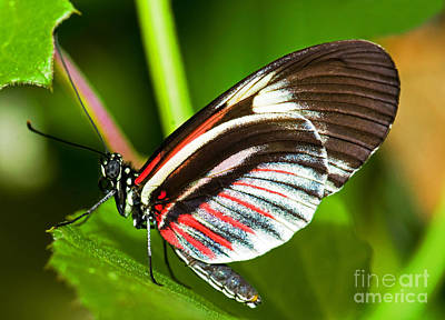 Red And Black Butterfly Photograph - Piano Key Butterfly by Millard H. Sharp
