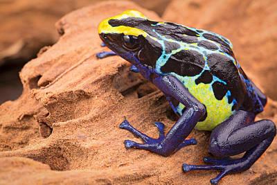 Poison Dart Frog Print by Dirk Ercken