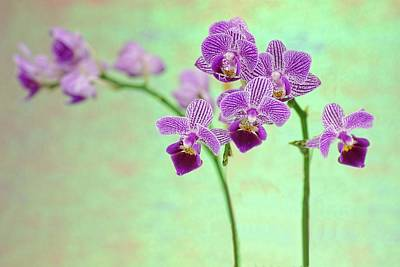 Photograph - Purple Orchid-11 by Rudy Umans