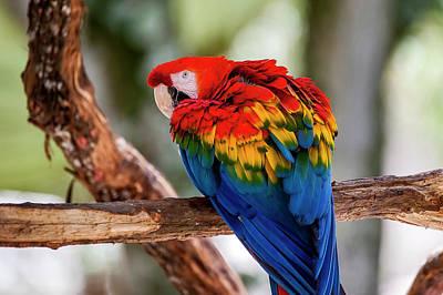 Red-and-green Macaw Ara Chloropterus Art Print