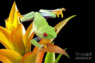 Photograph - Red-eyed Tree Frog by Linda Wright