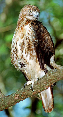 Photograph - Red-tailed Hawk by Millard H. Sharp