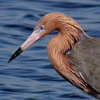 Photograph - Reddish Egret by Ira Runyan