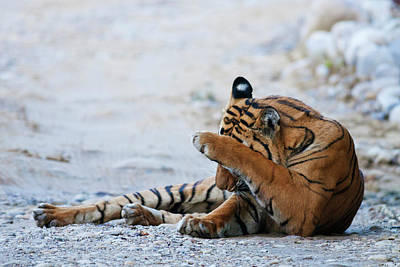 Licking Photograph - Royal Bengal Tiger (male by Jagdeep Rajput