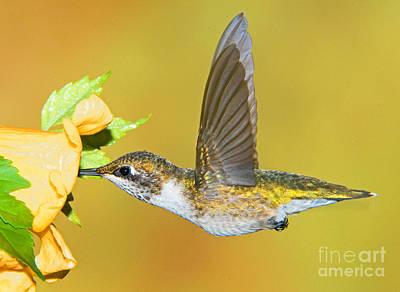 Apodiformes Photograph - Ruby-throated Hummingbird Female by Millard H. Sharp