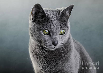 Graceful Photograph - Russian Blue Cat by Nailia Schwarz