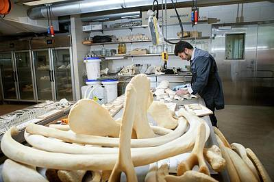 Carcass Photograph - Sperm Whale Skeleton Preparation by Thomas Fredberg
