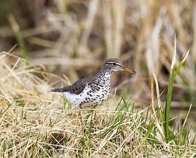 Photograph - Spotted Sandpiper by Doug Lloyd
