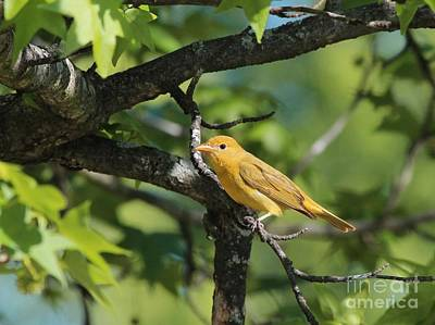Photograph - Summer Tanager by Jack R Brock