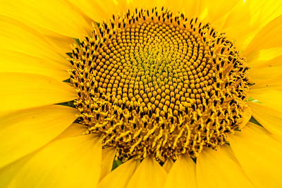 Photograph - Fibonacci's Sunflower by Melinda Ledsome