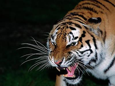 Tigre De Siberie Panthera Tigris Altaica Art Print by Gerard Lacz