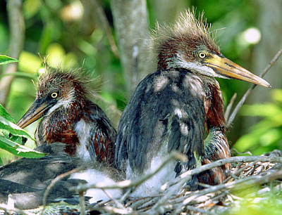 Photograph - Tricolored Heron Nestlings by Millard H. Sharp