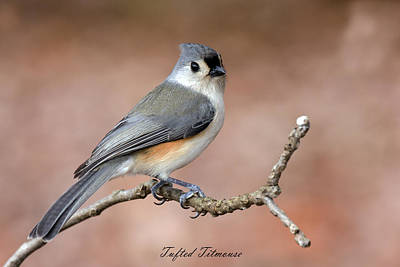 David Lester Photograph - Tufted Titmouse by David Lester