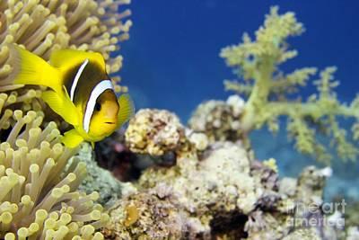 Clown Fish Photograph - Twoband Anemonefish by Dimitris Neroulias