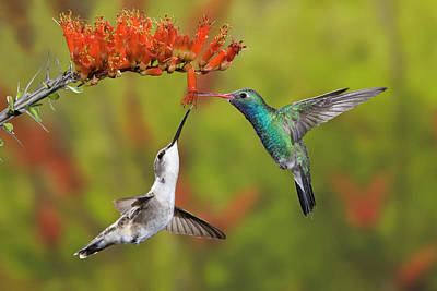 Broad-billed Hummingbirds Photograph - Usa, Arizona, Sonoran Desert by Jaynes Gallery