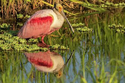 Roseate Spoonbill Photograph - Usa, Louisiana, Jefferson Island by Jaynes Gallery