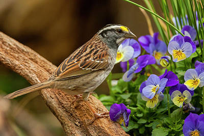 White-throated Sparrow Photograph - Usa, North Carolina, Guilford County by Jaynes Gallery