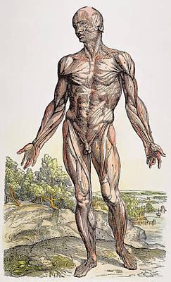 Photograph - Vesalius: Muscles, 1543 by Granger