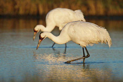 Fidelity Photograph - Whooping Crane (grus Americana by Larry Ditto