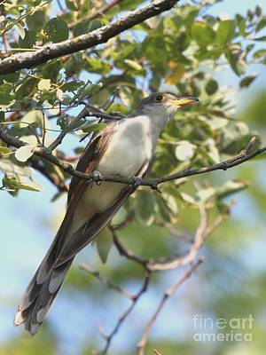Photograph - Yellow-billed Cuckoo by Jack R Brock