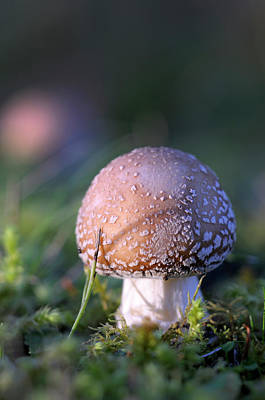 Amanita Mushroom Photograph - Canada, British Columbia, Vancouver by Kevin Oke