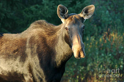 Photograph - 801p Cow Moose by NightVisions