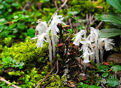 Photograph - 805a Indian Pipe by NightVisions