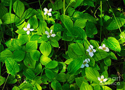 Photograph - 807a Bunchberry by NightVisions